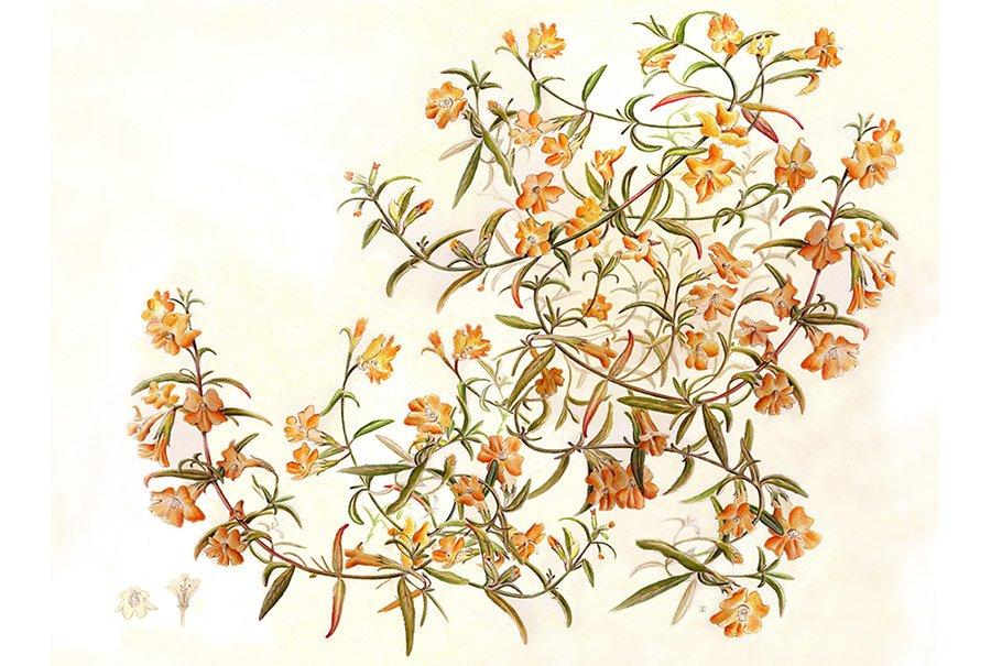 STICKY MONKEY FLOWER - Mimulus aurantiacus
